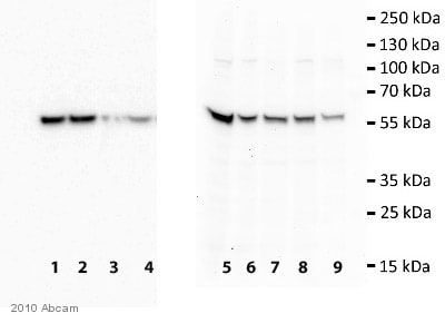 Western blot - TIP49A antibody [2943C1a] (ab51500)