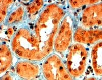 Immunohistochemistry (Formalin/PFA-fixed paraffin-embedded sections) - Semaphorin 5A antibody (ab51957)