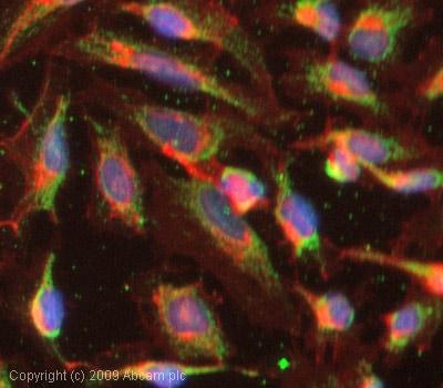 Immunocytochemistry/ Immunofluorescence-IRS1 antibody(ab52167)