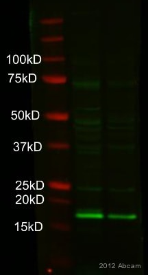 Western blot - Anti-Claudin 3 antibody (ab52231)