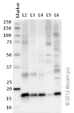 Western blot - Anti-Histone H2B antibody [mAbcam 52484] - ChIP Grade (ab52484)