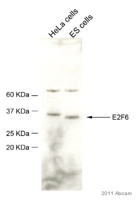 Western blot - Anti-E2F6 antibody (ab53061)