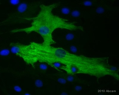 Immunocytochemistry/ Immunofluorescence - Anti-smooth muscle Myosin heavy chain 11 antibody (ab53219)