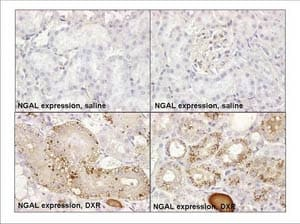 Immunohistochemistry (Formalin/PFA-fixed paraffin-embedded sections) - Anti-Lipocalin-2 / NGAL antibody [ABS 039-08] (ab53500)