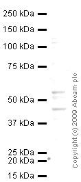 Western blot - RILP antibody (ab54559)