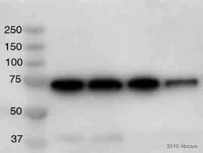 Western blot - FANCC antibody (ab54631)