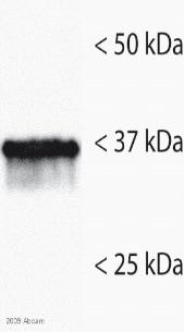 Western blot - Annexin II antibody (ab54771)