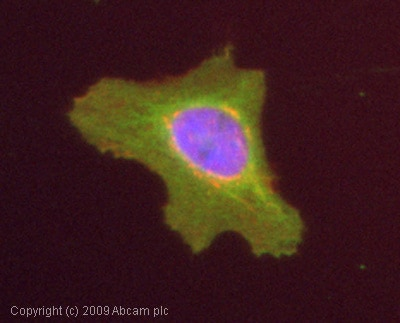 Immunocytochemistry/ Immunofluorescence - RhoA antibody (ab54835)