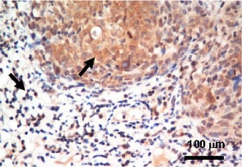 Immunohistochemistry (Formalin/PFA-fixed paraffin-embedded sections) - Anti-MIF antibody (ab55445)