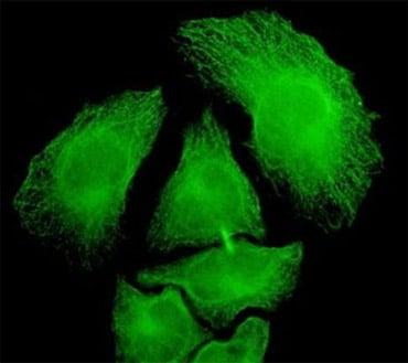 Immunocytochemistry/ Immunofluorescence-PGA5 antibody(ab55612)