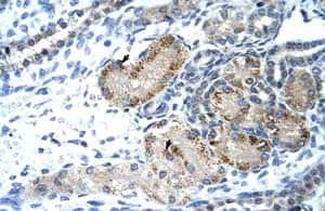 Immunohistochemistry (Formalin/PFA-fixed paraffin-embedded sections)-Anti-GTF2IRD1 antibody(ab55975)