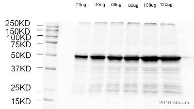 Western blot - Tubulin antibody (ab56676)