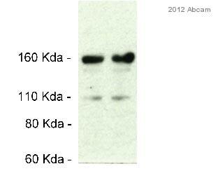 Western blot - Anti-Hephaestin antibody (ab56729)
