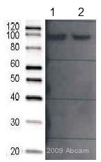 Western blot - Anti-ALIX antibody (ab56932)