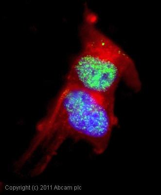 Immunocytochemistry/ Immunofluorescence-Fox2 / RBM9 antibody(ab57154)