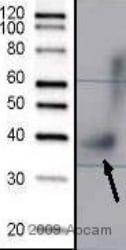 Western blot - Septin 3 antibody (ab57478)