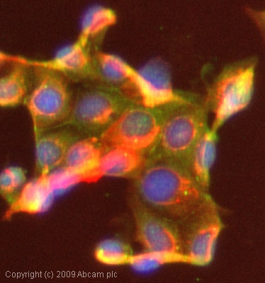 Immunocytochemistry/ Immunofluorescence-COPT2 antibody(ab58777)
