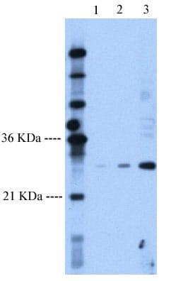 Western blot - Follistatin antibody (ab58920)