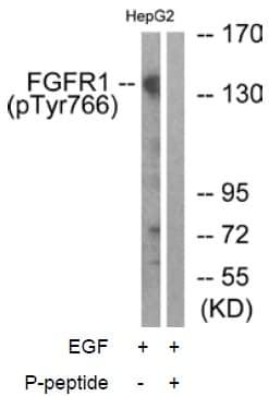 Western blot - FGFR1 (phospho Y766) antibody (ab59180)
