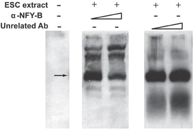 Electrophoretic Mobility Shift Assay - Anti-NFYB antibody (ab6559)