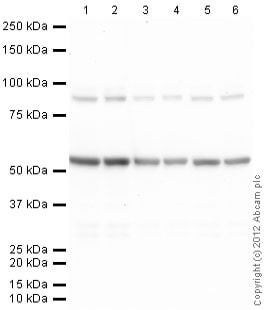Western blot - Rabbit polyclonal Secondary Antibody to Rat IgG - H&L (AP) (ab6735)