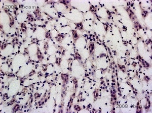 Immunohistochemistry (Frozen sections) - Rabbit polyclonal Secondary Antibody to Chicken IgY - H&L (HRP) (ab6753)