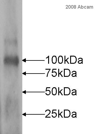 Western blot - Goat Anti-Rabbit IgG H&L (Cy2 ®) preadsorbed (ab6940)