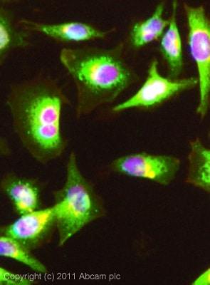 Immunocytochemistry/ Immunofluorescence-Anti-LOX 1 antibody(ab60178)