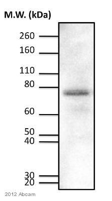 - Anti-PKC delta (phospho T505) antibody (ab60992)