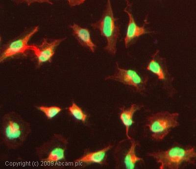 Immunocytochemistry/ Immunofluorescence-KAT3A / CBP (acetyl K1535) antibody(ab61242)