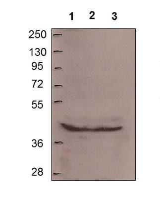 Western blot - MTUS1 antibody (ab61309)