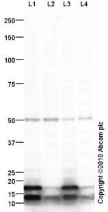 Western blot - IRF8 antibody (ab61750)