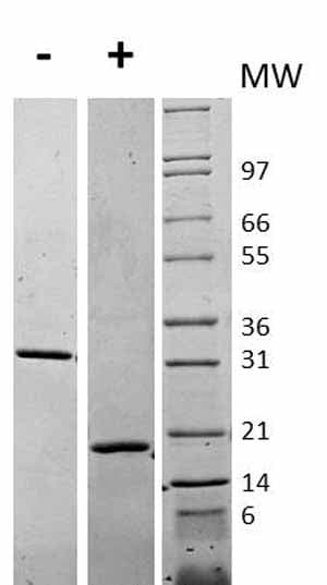 Other-MCSF protein (Active)(ab62015)