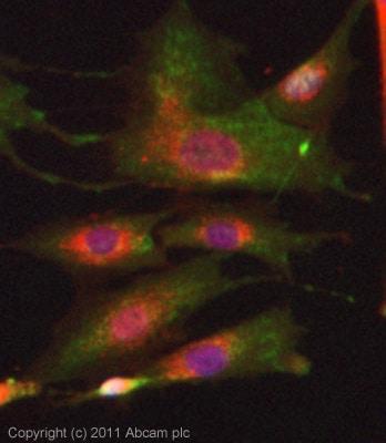 Immunocytochemistry/ Immunofluorescence - Anti-Delta Opioid Receptor (phospho S363) antibody (ab62152)