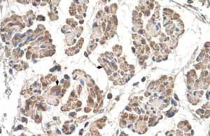 Immunohistochemistry (Formalin/PFA-fixed paraffin-embedded sections)-Anti-MOSPD3 antibody(ab62525)