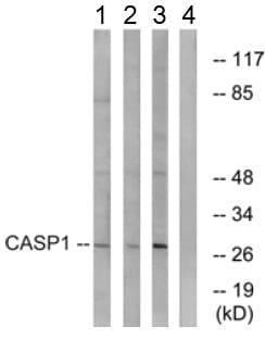 Western blot - Anti-Caspase-1 antibody (ab62698)