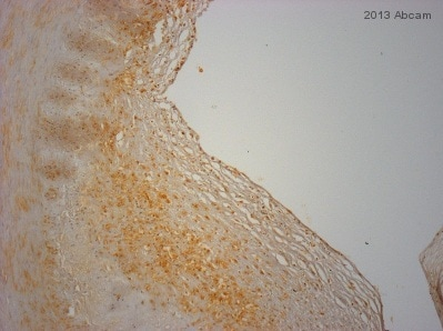 Immunohistochemistry (Formalin/PFA-fixed paraffin-embedded sections) - Anti-DDIT4 antibody (ab63059)