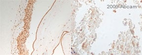Immunohistochemistry (PFA perfusion fixed frozen sections) - NDRG1 antibody (ab63989)