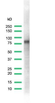 Western blot - CD44 antibody [SPM521], prediluted (ab64095)