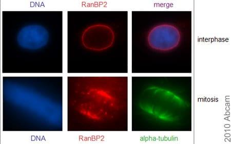 Immunocytochemistry/ Immunofluorescence - RanBP2 antibody (ab64276)