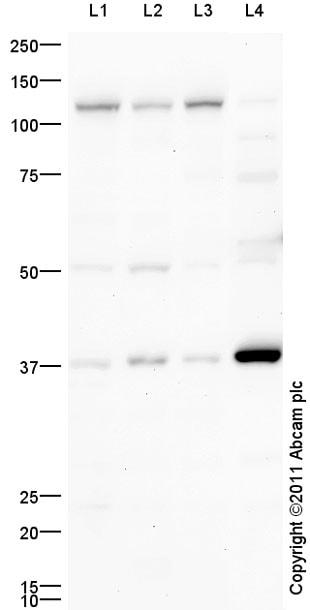 Western blot - SCF antibody (ab64677)