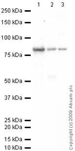 Western blot - Transglutaminase 2 antibody (ab64771)