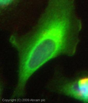 Immunocytochemistry/ Immunofluorescence - Transglutaminase 2 antibody (ab64771)