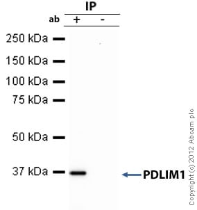 Immunoprecipitation - Anti-PDLIM1 antibody (ab64971)