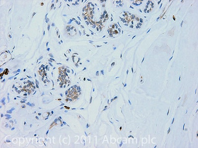 Immunohistochemistry (Formalin/PFA-fixed paraffin-embedded sections) - Anti-SND1 antibody (ab65078)