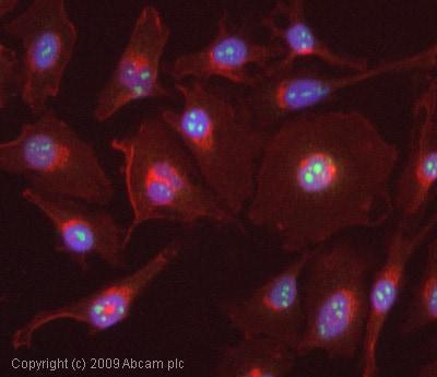 Immunocytochemistry/ Immunofluorescence-AATF antibody(ab65248)