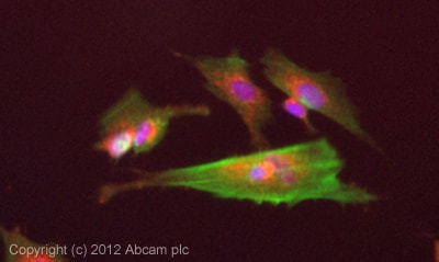 Immunocytochemistry/ Immunofluorescence - Anti-ABCA2 antibody (ab65589)