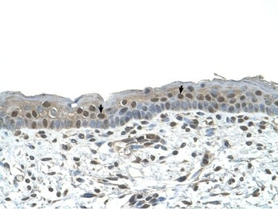 Immunohistochemistry (Formalin/PFA-fixed paraffin-embedded sections) - Anti-NR2C2 antibody (ab65676)