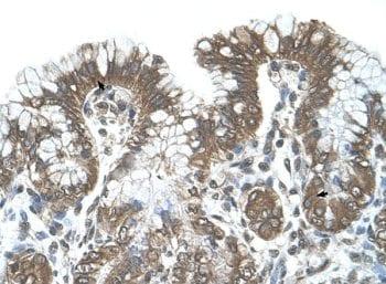 Immunohistochemistry (Formalin/PFA-fixed paraffin-embedded sections) - Anti-POFUT2 antibody (ab65738)