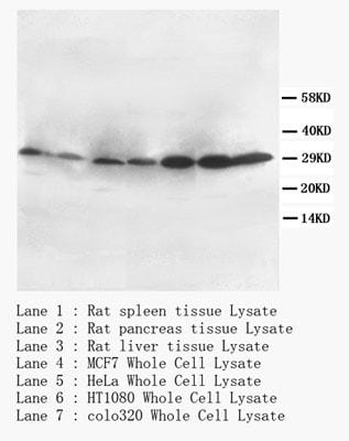 Western blot - CD40L antibody (ab65854)